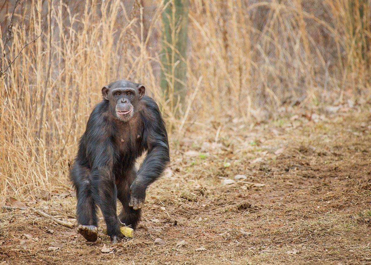 Los animales no son para experimentar con ellos: Los chimpancés son liberados por muchos laboratorios.