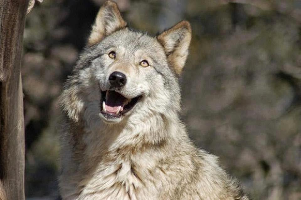 Днем рождения, самые смешные картинки волков