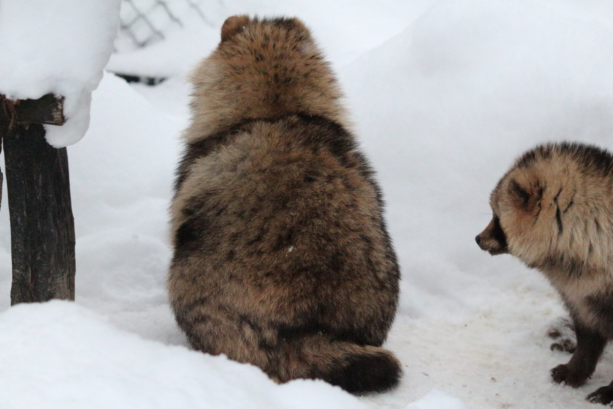 雪国のたぬきってかわいいwwエゾタヌキがもふもふしててお尻もかわいいw