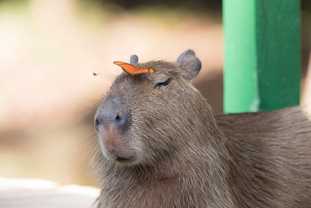 Animals on Capybaras on Twitter: