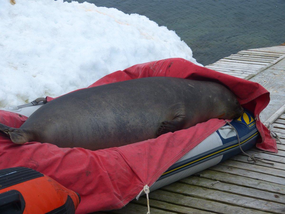 Морський котик задрімав у човні українських полярників: кумедні фото