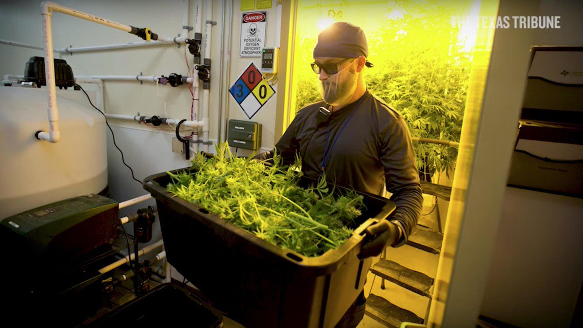 Texas medical cannabis cultivator and dispensary has first harvest