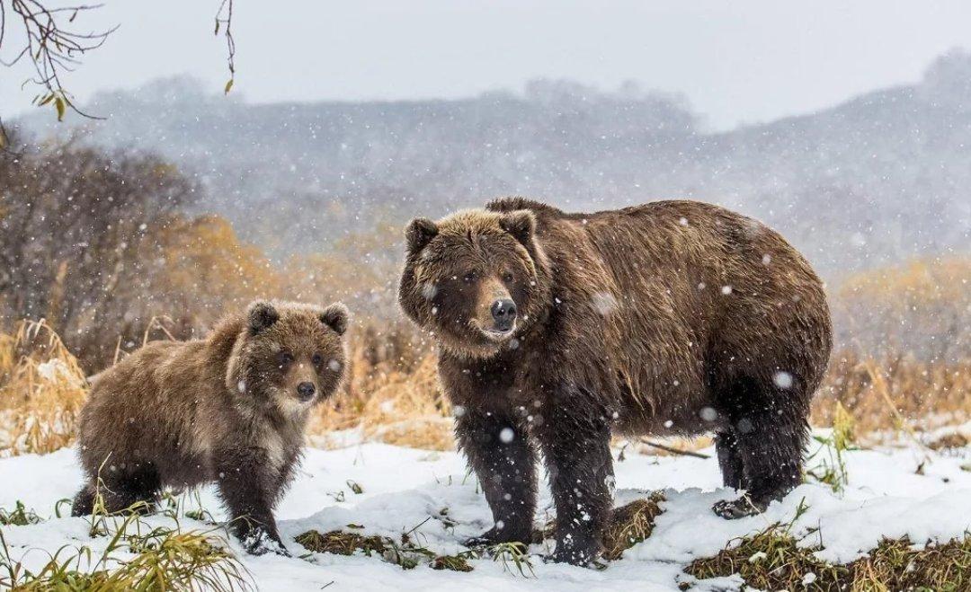 мысль фото бурый медведь в снегу створок осуществляется одним