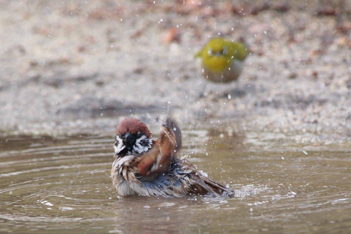 寒中水泳しているスズメをメジロが真似した結果…www