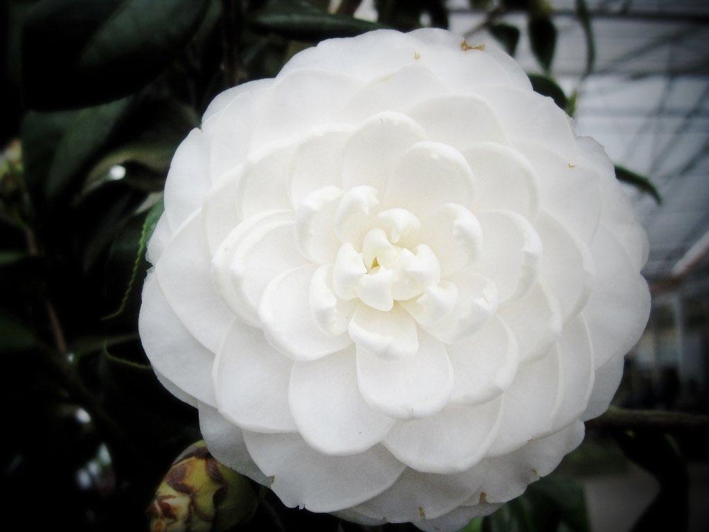 Pike Nurseries On Twitter Camellia Japonica Sea Foam Camellia