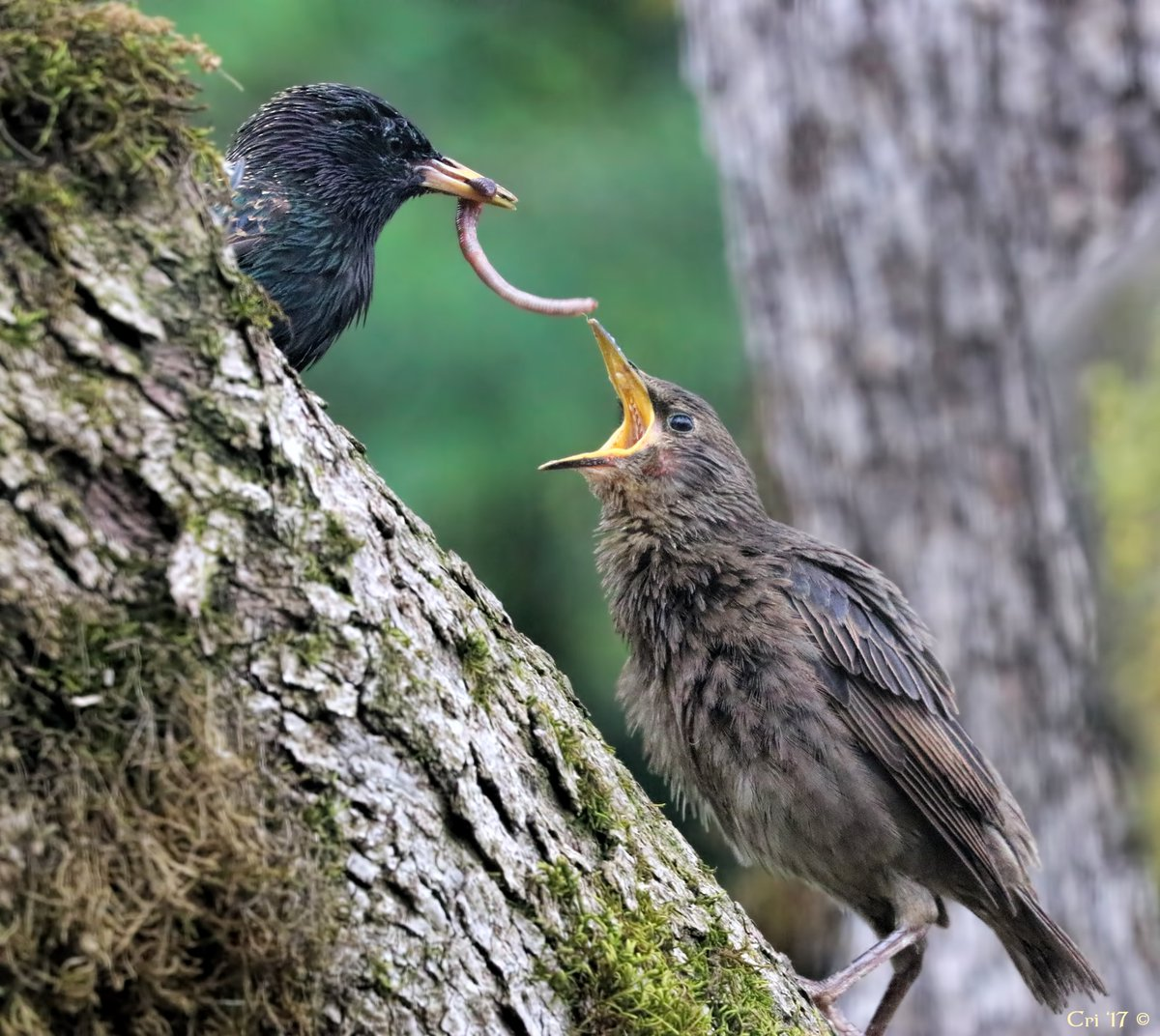 STARLINGS in DECLINE on Twitter: