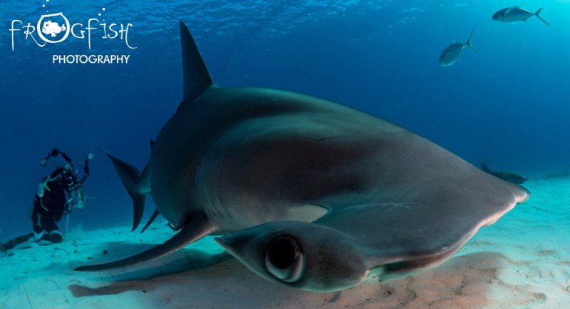 5 Facts People Who Fear Sharks Should Know. Don't fear sharks! Fear an ocean without them. Domino Albert, @projectaware Associate Director, Global Communications, share's her latest blog: http://www.scubaverse.com/5-facts-people-fear-sharks-know/… #scuba #diving #sharks #sharkprotection #conservation #Marinepic.twitter.com/x0z7k9JZpz