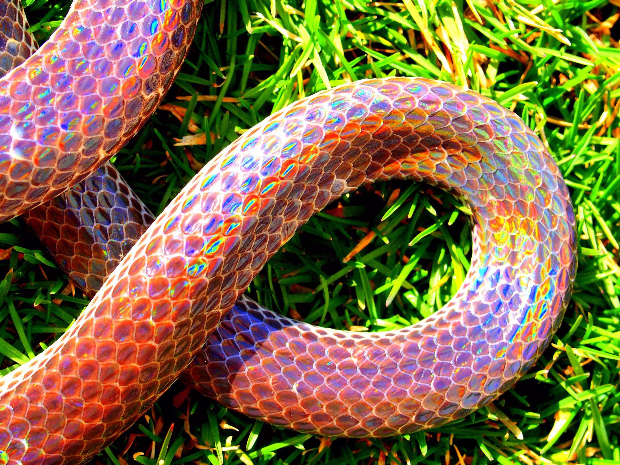 людей, изначально австралийская радужная змея фото вам необходима такая