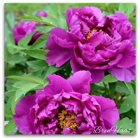 Besides being super stars in the garden... the peonies are DEER RESISTANT!!! #score #gardening #gardenchat #flowers