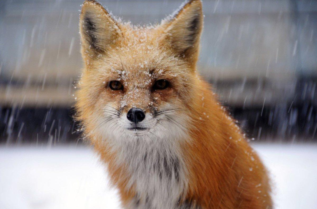 Картинки вредный лис