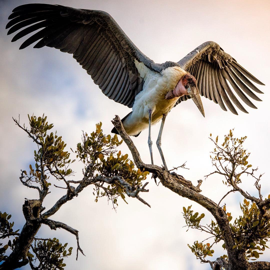 طائر أبو سعن الأفريقي DUzdxU2W0AAyqXq