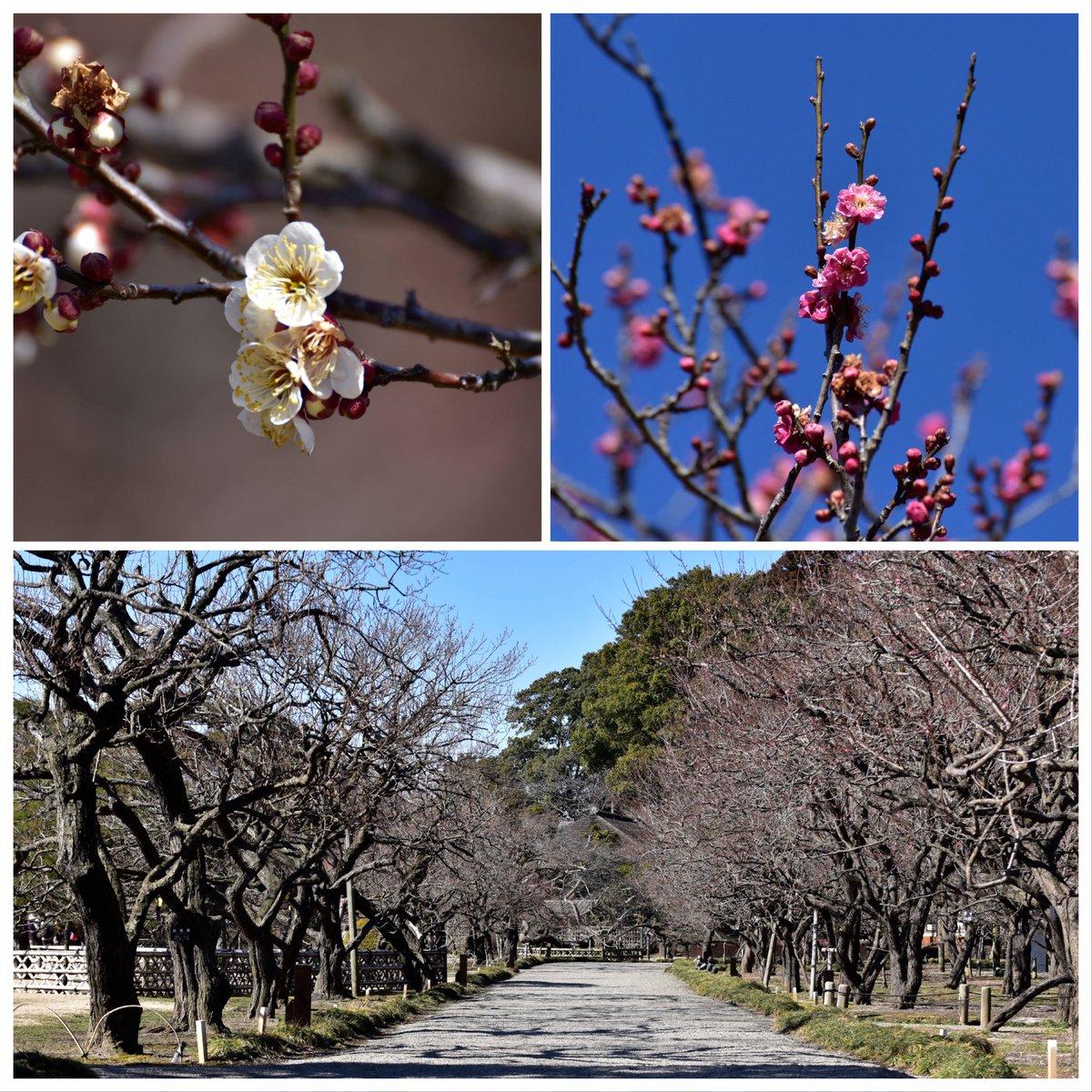 こんにちは。 先週くらいまでの雪が降る様な寒い気温から、風は冷たいですが少しだけ暖かい昼間になりましたね。  春はもう少し! さて、2月20日から水戸の梅まつりが開催されますよ! 気になる偕楽園の梅の開花状況ですが、少しだけ様子を見て来ました。