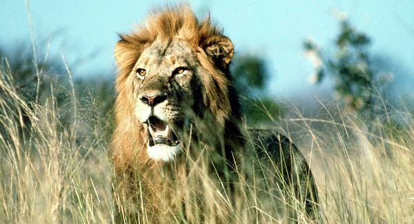 A suspected poacher was eaten by lions in South Africa