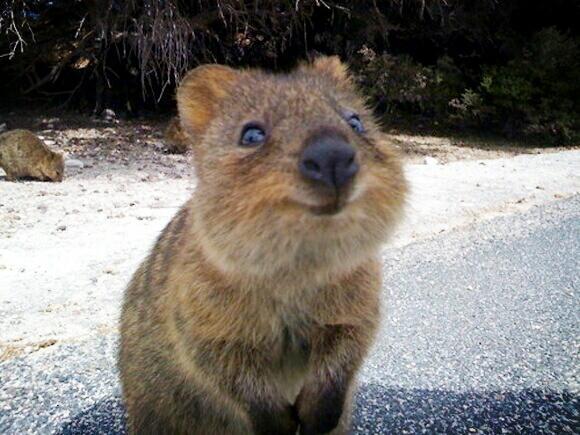 可愛すぎかよwwずっと笑顔に見える動物クァッカワラビーが可愛すぎるw