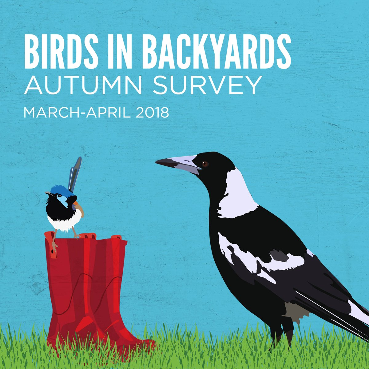 "Magpie Birds In Backyards birdlife australia on twitter: ""a whizz and a whirl, a flutter and a"