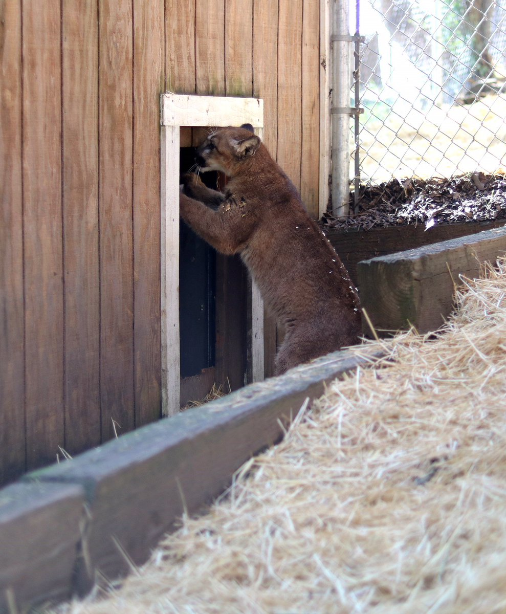 Mountain lion cub on the mend after #ThomasFire moves into new home #Petaluma https://t.co/5s44UbMjke