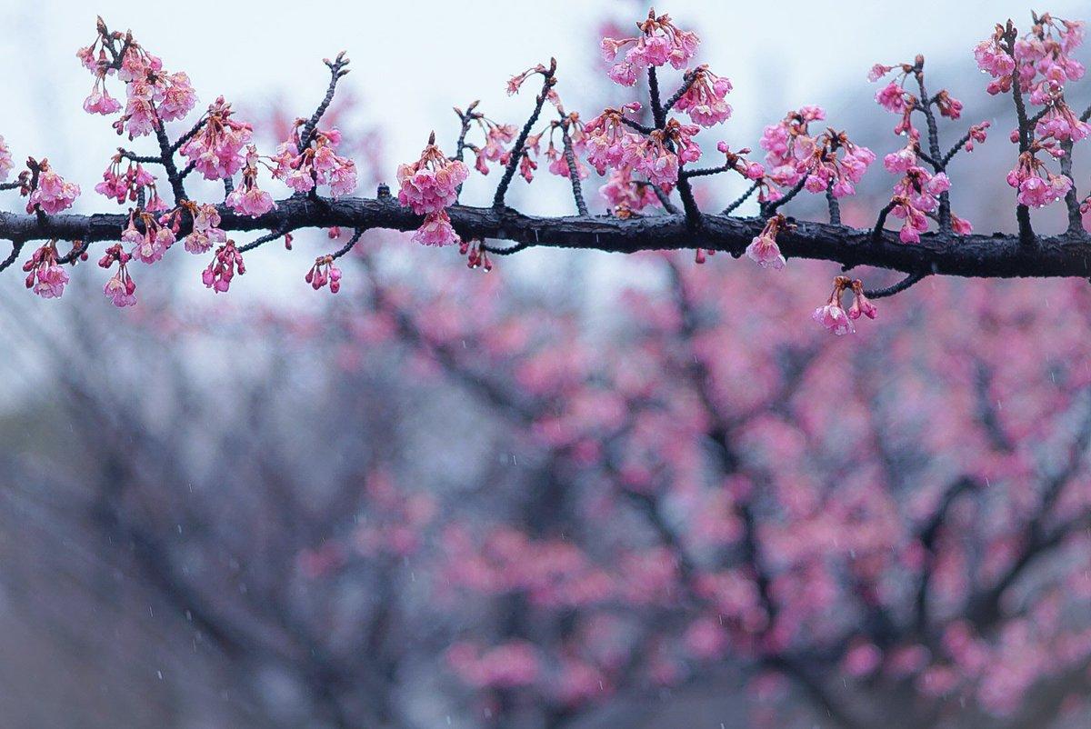 春はすぐそこに。 #α6500 #SonyAlpha #takumar #takumar135mm #オールドレンズ #オールドレンズ倶楽部 #木場公園 #富岡八幡宮 #東京カメラ部 #tokyocameraclub #キリトリセカイ #photography #ファインダー越しの私の世界 #写真撮ってる人と繋がりたい #写真好きな人と繋がりたい