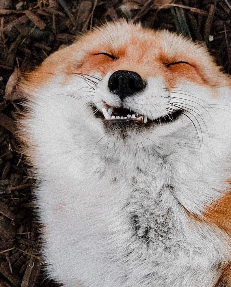 Днем ветеринара, картинки с лисичкой приколы