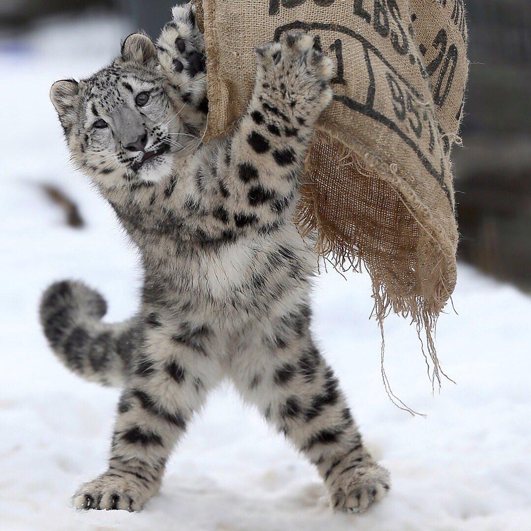 多摩動物公園のユキヒョウのフクちゃん。いまの大放飼場のお気に入りは、麻袋、ボール、岩登頂です。次はどんな遊びを見つけるのでしょうか。楽しみです。 #多摩動物公園 #ユキヒョウ #snowleopard