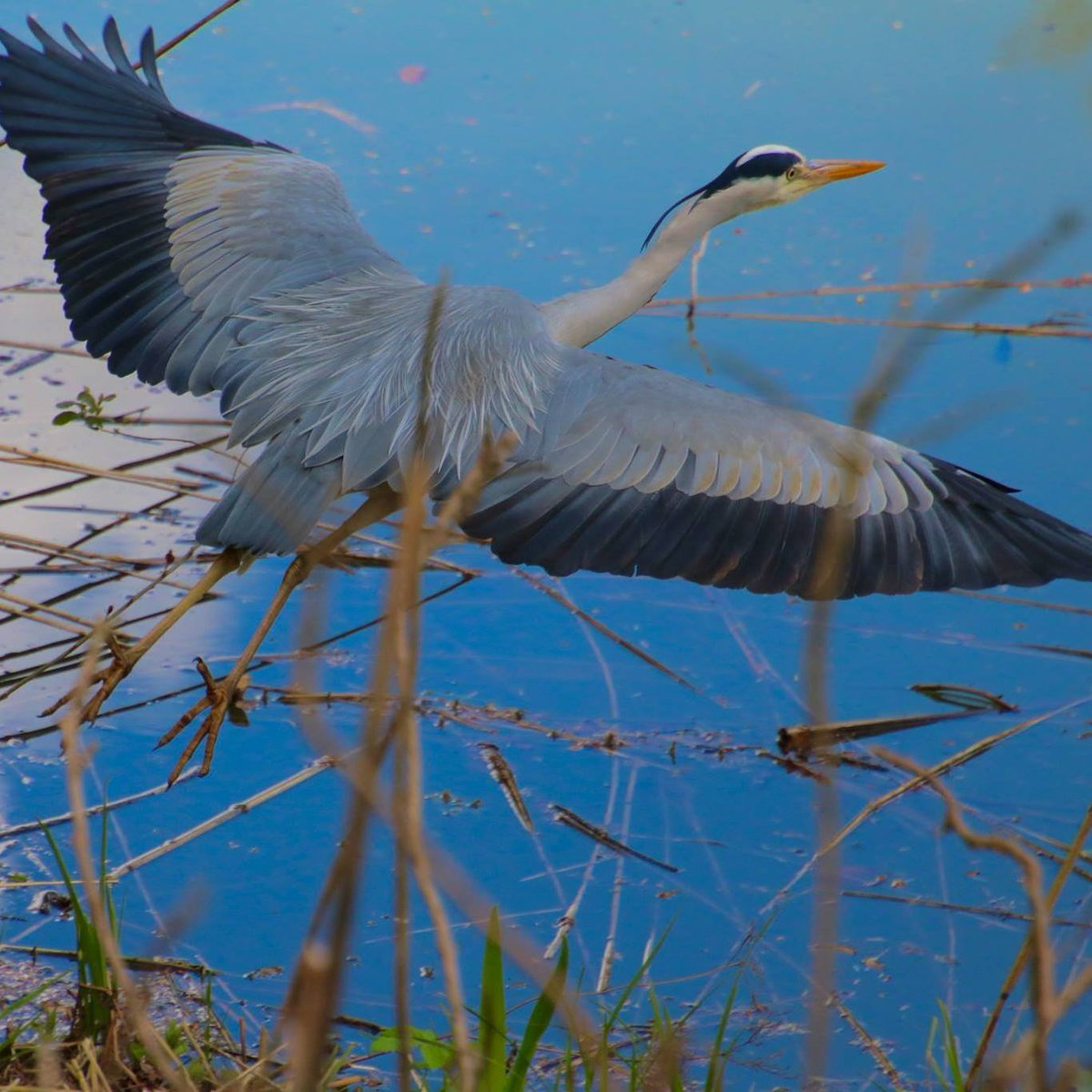 Into the Blue #Heron #LaHulpe pic.twitter.com/t0P6udyNTw