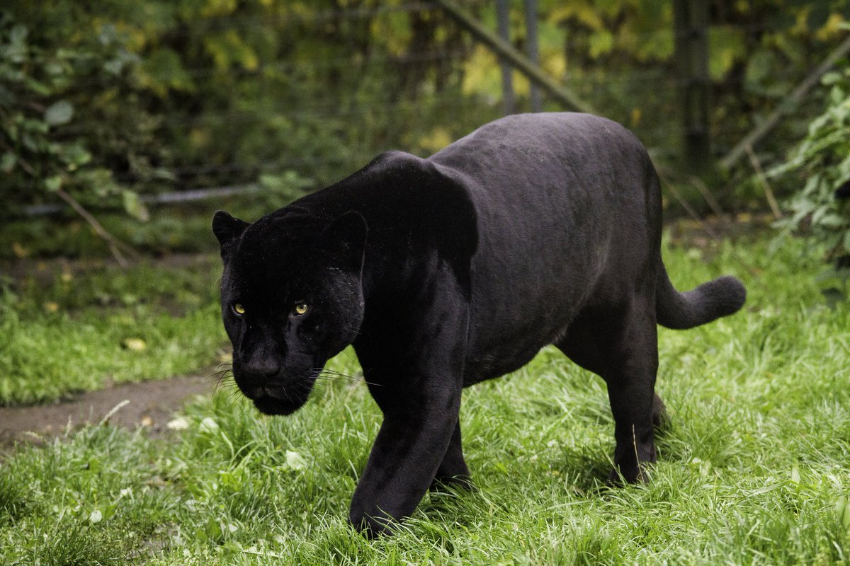 Whitaker S Almanack On Twitter A Black Panther Isn T A Real Animal