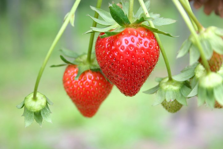 """strawberry industry """"doubtless god could have made a better berry, but doubtless god never did the oregon strawberry industry with its 120 year history has had a."""