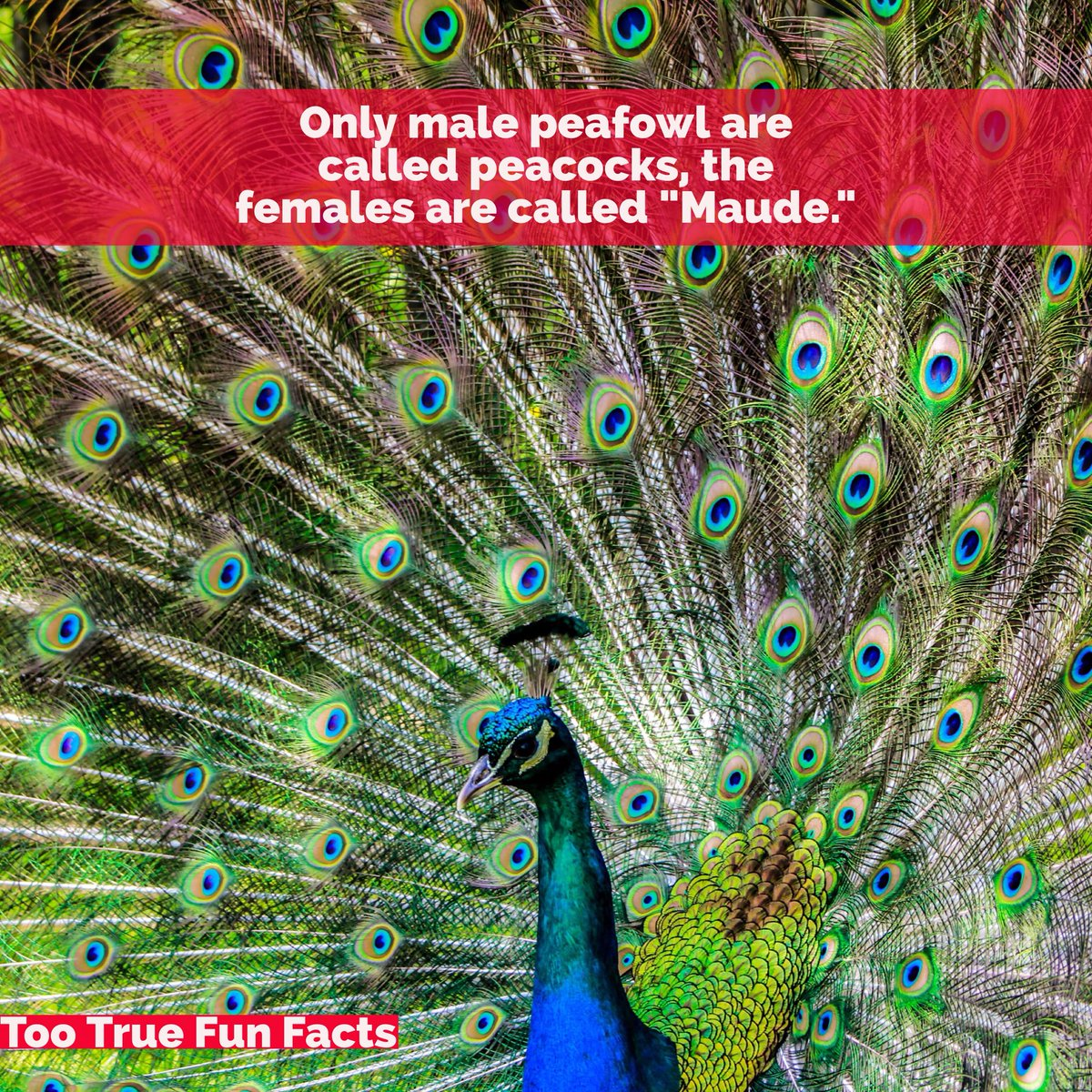 "Too True Fun Facts on Twitter: ""Bird Fun Fact. #peacock # ... - photo#31"