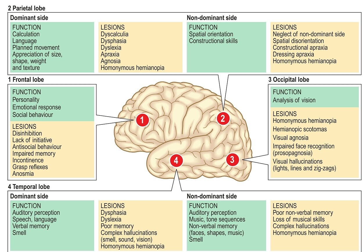 """Zainab on Twitter: """"Functions of the Lobes of the Brain # ..."""
