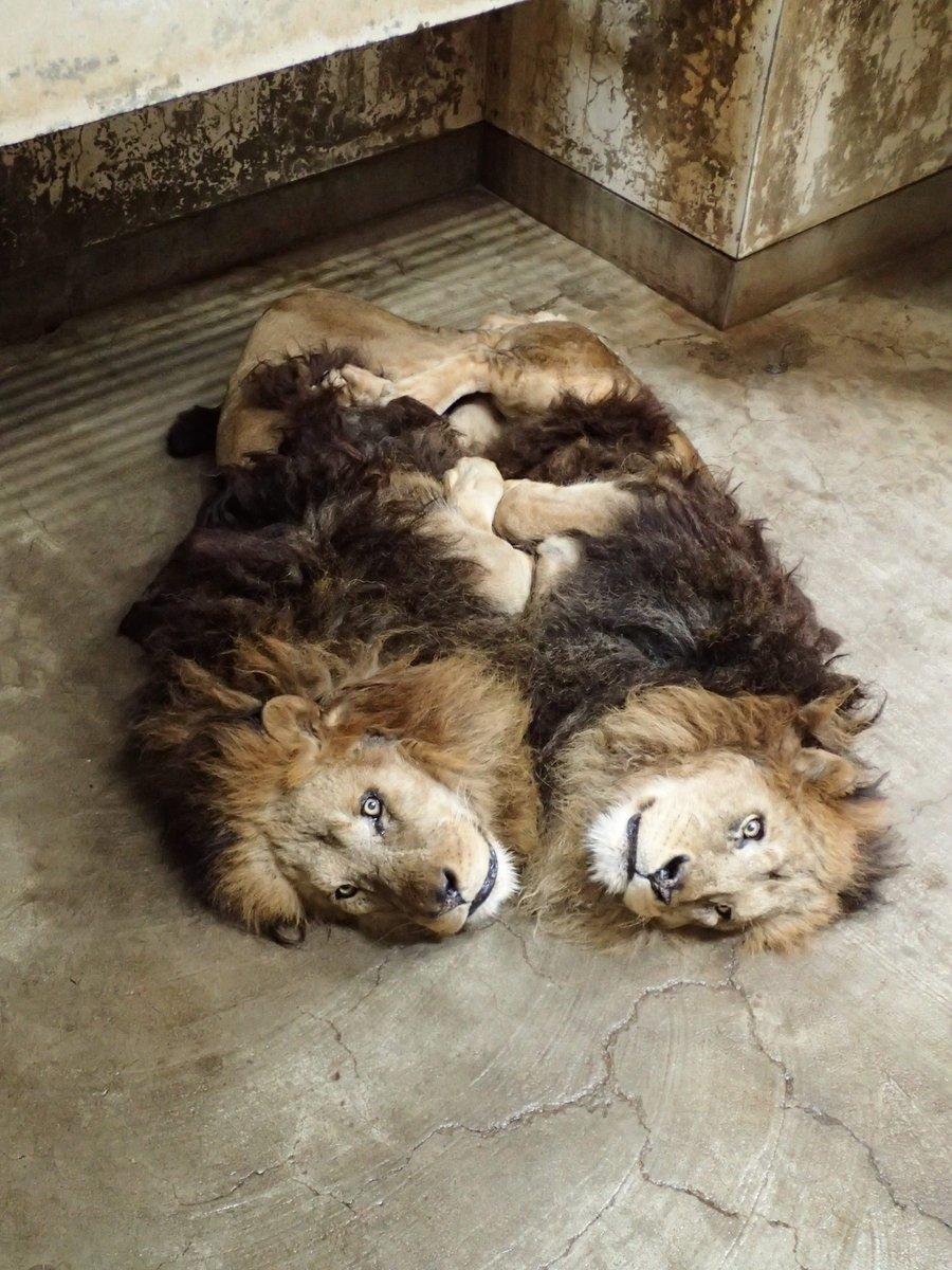 いつも仲良しのジャンプとスパークだけど、寒い日はこんな風に体を寄せ合って暖をとっています。ほのぼのとして癒されますが、本当にライオン?(AH)