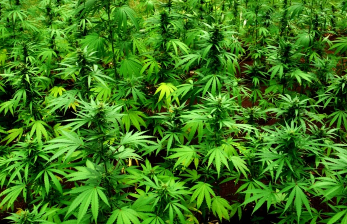 the issues of the marijuana in the american society and the definition of the plant from a scientifi Marijuana is deeply american too—as american as george washington, who grew hemp at mount vernon for most of the country's history, cannabis was legal, commonly found in tinctures and.