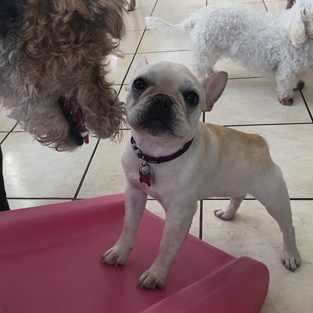 Excuse me, may I have a turn on the slide? #frenchbulldog #frenchielove #frenchiepuppy #puppy #daycaredogs #doggydaycamp #bayareadog #pupsofsiliconvalley #mochi http://bit.ly/2nT2y4Zpic.twitter.com/bxYXAsx7dC