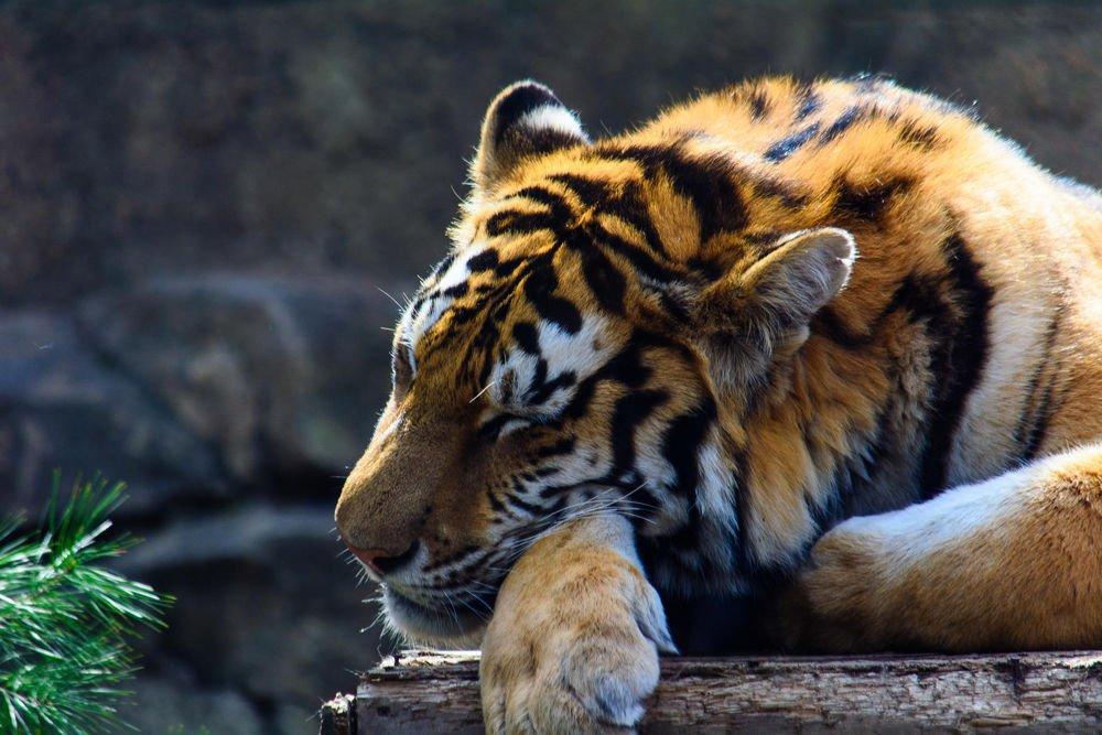 Спокойной с тигром картинки