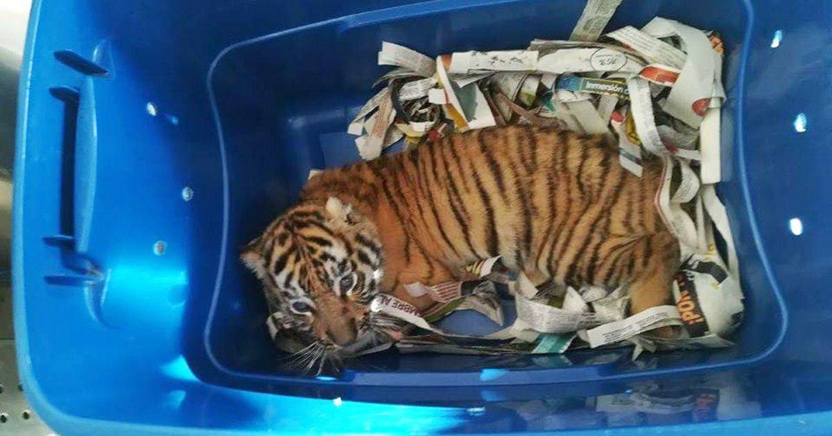 จับได้คากล่อง ! ลูกเสือโคร่ง ถูกป้อนยาส่...