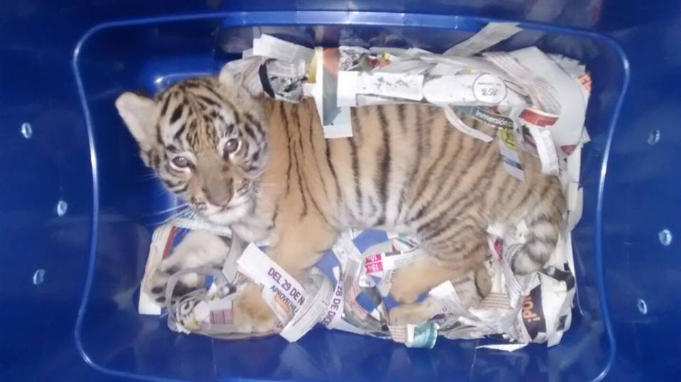 When a dog saved a tiger cub! Cub found in a plastic container has taken the internet by storm. Canine members of the Federal Forces Division detected a plastic box with an 'unusual' content at Tlaquepaque Central Bus Station in Mexico Source: Federal Police (Mexico)  #ITPhotoBlog