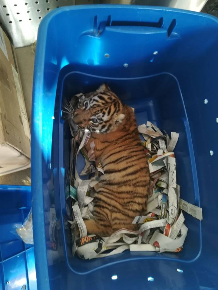 Authorities in Mexico find a tiger cub in the mail