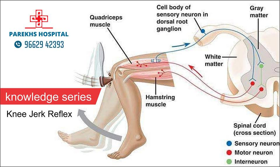 Knee Jerk Reflex Diagram