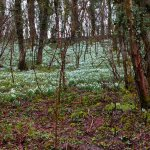 Join our snowdrop walk on Wednesday.