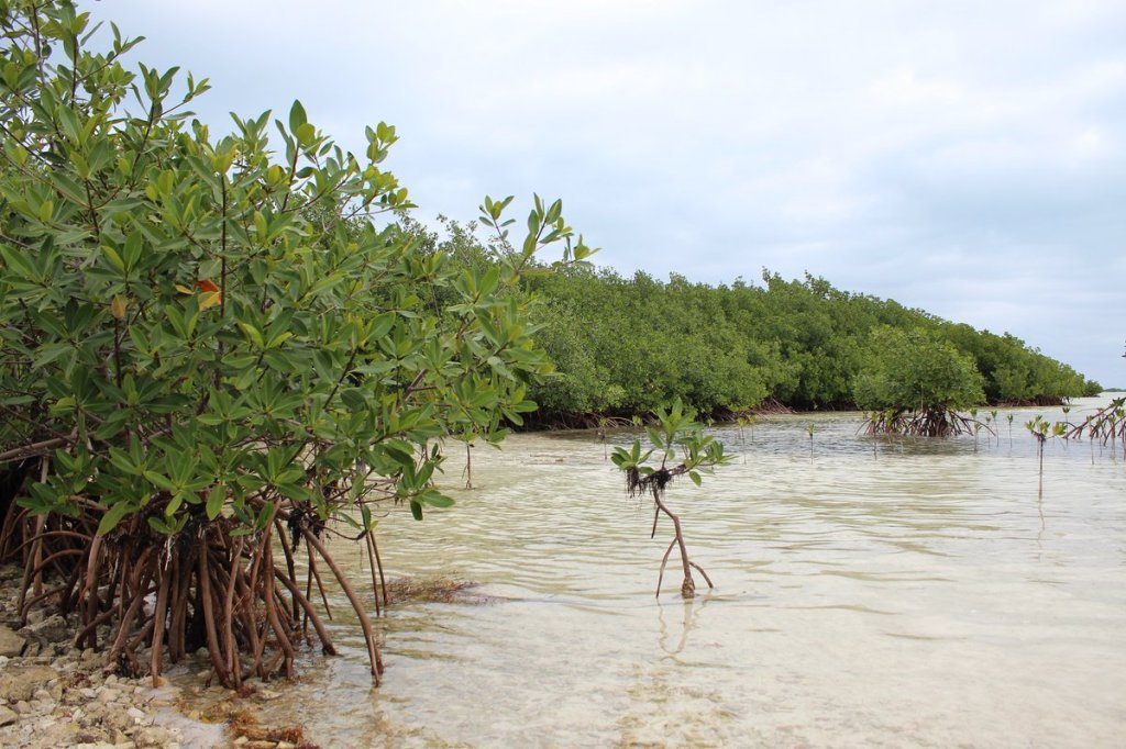 Los manglares protegen las costas