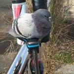 警戒心なさ過ぎでしょ目を離した隙にサドルに座っちゃう鳩が可愛すぎる