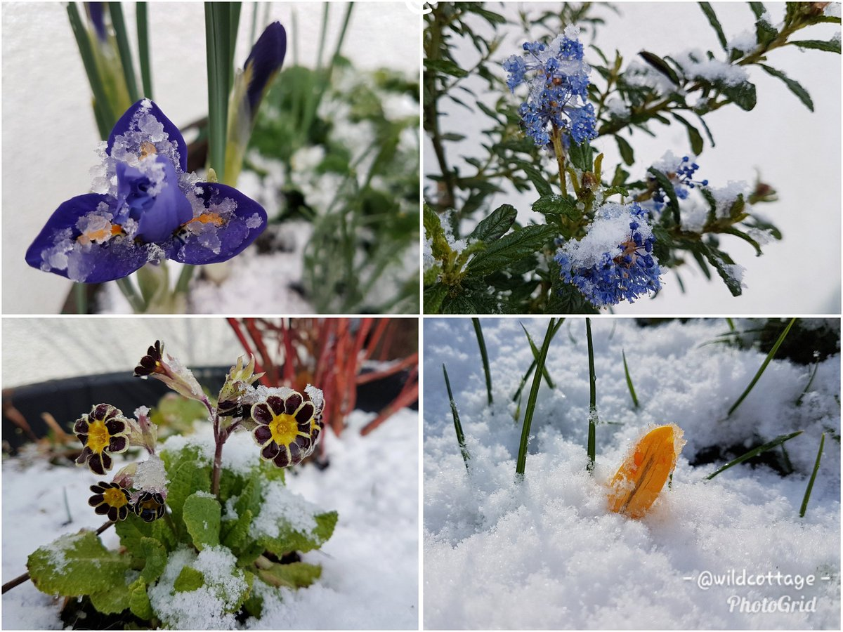 garden flowers in snow: clockwise from top left: purple winter iris, blue Ceanothus, yellow crocus, wine with yellow alpine primulas