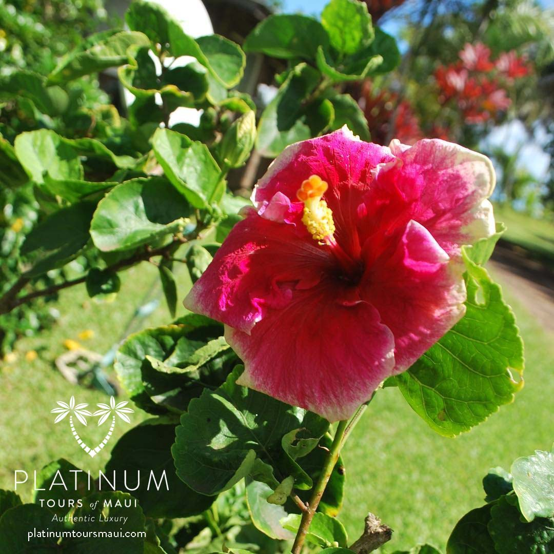 Platinum Tours Maui On Twitter Hibiscus Emoji In Real Life