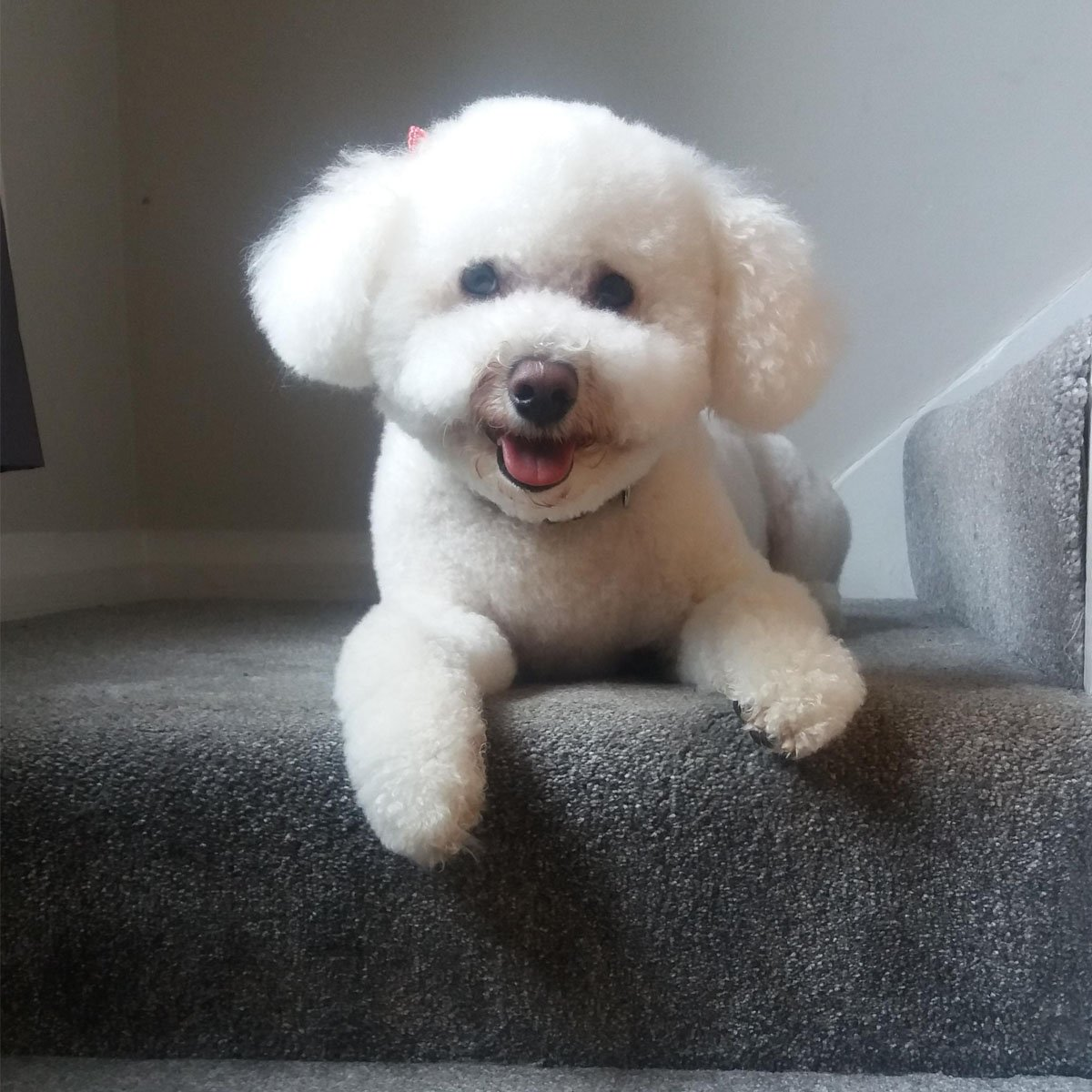 Borrowmydoggy On Twitter Waiting Eagerly To Show Off Your New Haircut In The Park Newdoggysignup Mango The Bichon Frise From Greater London