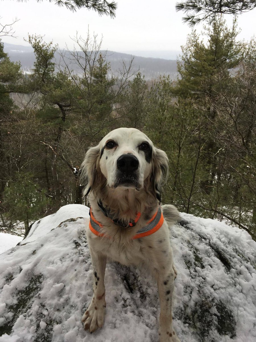 So our friends lost their sweet setter Pete today. He and some other dogs surprised a black bear while on a hike. Pete bravely protected the rest of the crew who got to safety. Pete later succumbed to his injuries. He was an older guy and went out a true hero. RIP PETE THE HERO!