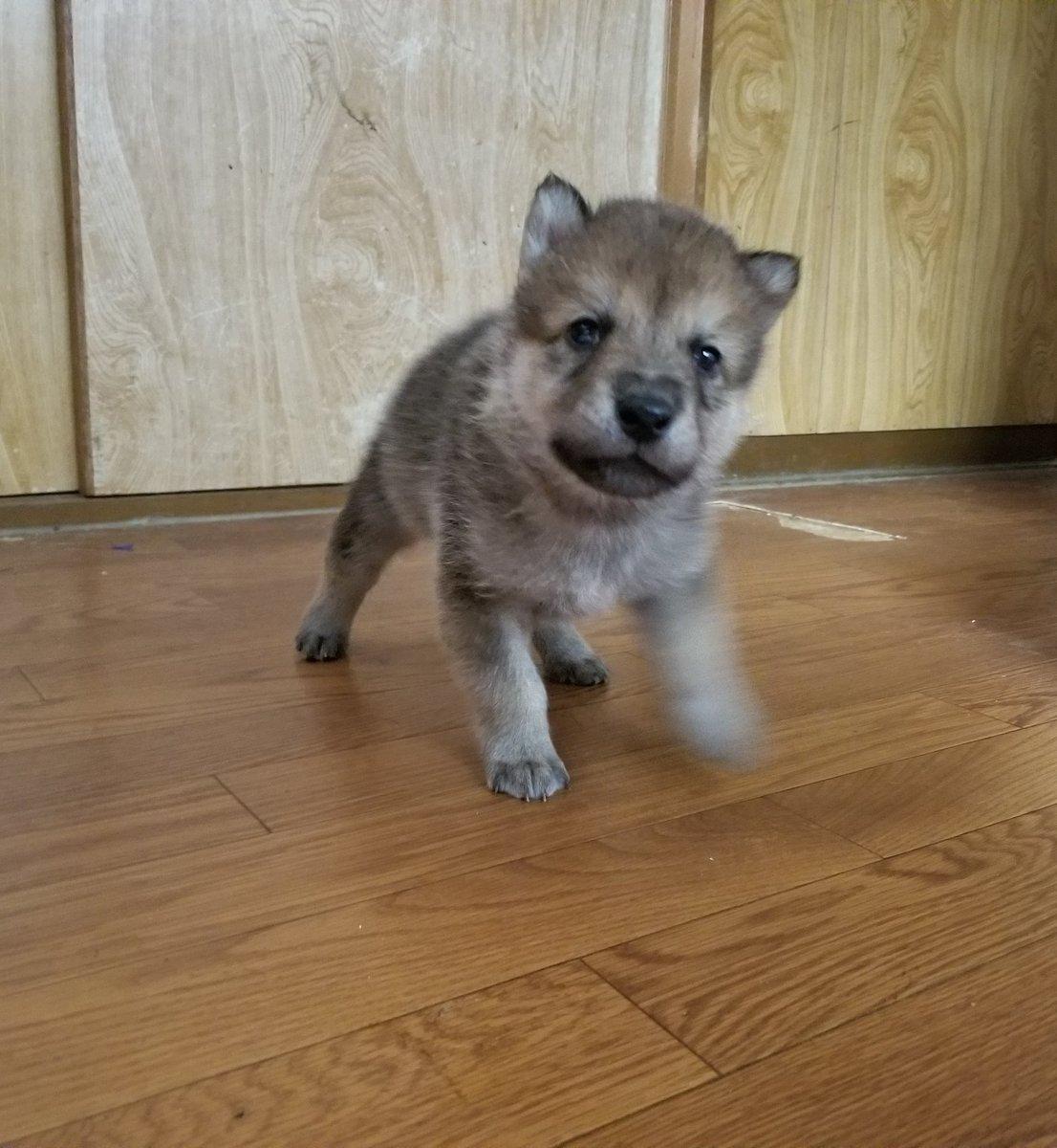 兄弟唯一の女の子(ピンクちゃん) 耳が立ってきたよー👂  #今日のオオカミ犬 #狼犬 #ウルフドッグ #オオカミ犬 #wolfdog #hybridwolf