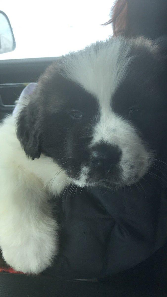 My new baby ❤️🐶 #saintbernard #dogmom #g...
