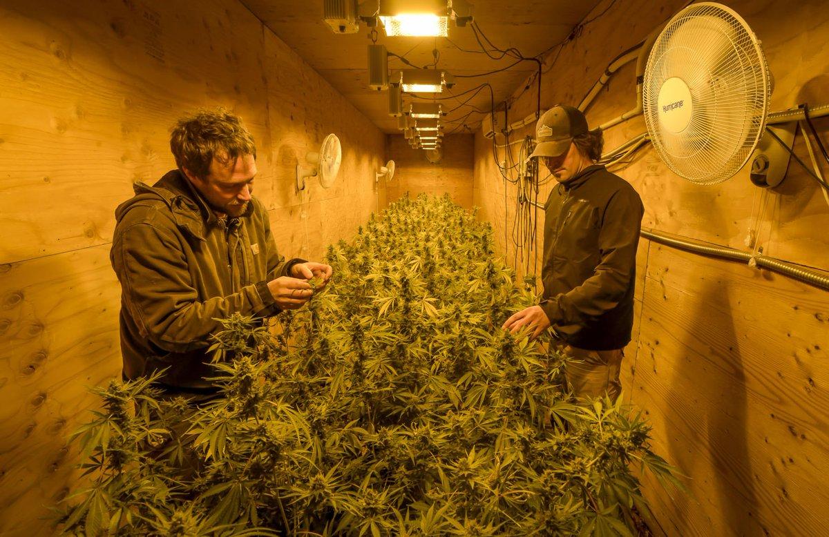 Конопля в селендуме когда лучше проращивать семена конопляные