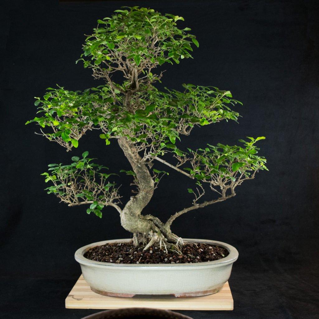 Wikibonsai Com On Twitter Amazing Large Chinese Privet Bonsai Tree Ligustrum Sinense 2429 Https T Co Kgv33tgjng Juniper Juniperusbrevifolia Juniperusphoenicea Https T Co Xeh6ls8h5x