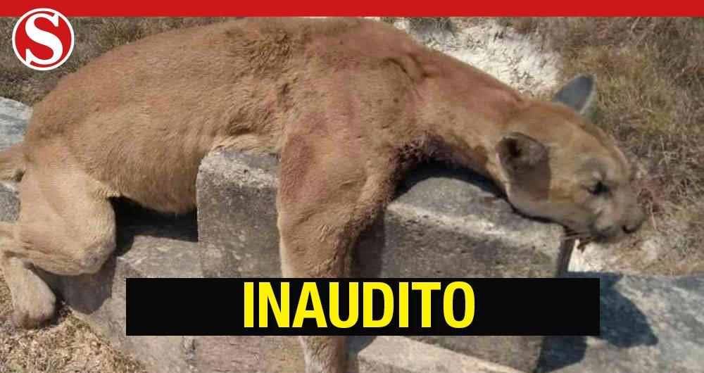 En @SosSemana: Repudio en Casanare: a tiros asesinan una puma hembra en plena vía https://t.co/y04bS5oIRI