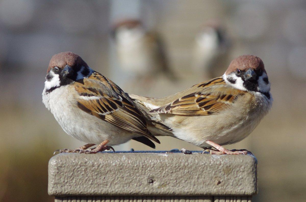 立ち位置決まってるのかな?フォーメーション決まりすぎです! #雀 #スズメ #すずめ #sparrow