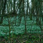 Well today's walk was billed as a snowdrop walk.